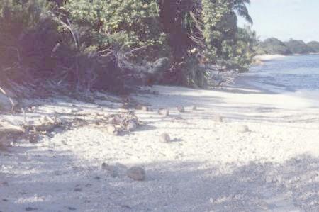 رمال الجزيرة - ثمرة جوز الهند